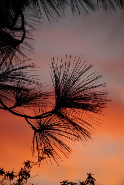 Pine needles silhouetted against the sunset in Puntagorda, La Palma