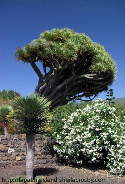 Leaning dragon tree, Dracaena draco, in Puntagorda