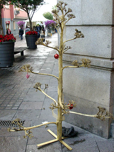 Agarve flower stalk made into a Christmas tree.