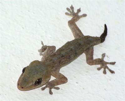 The gecko found on La Palma, Tarentola delalandii