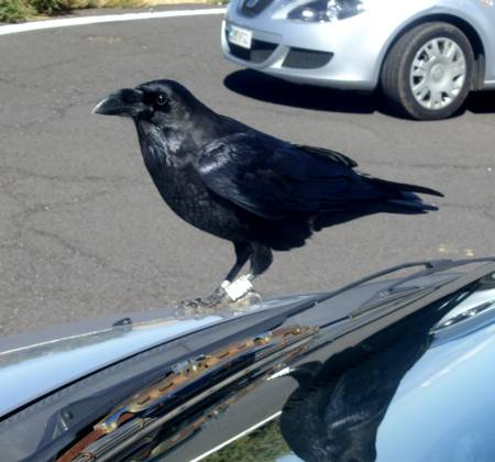Raven on my car at the observatory, Garafía.