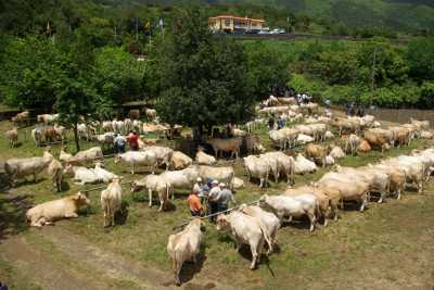 Cattle at the fair of St. Isidore, Breña Alta, La Palma island