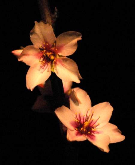 Puntagorda fiesta: almond blossom