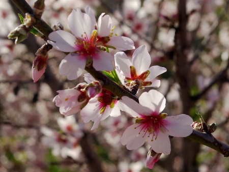 The star of the almond blossom fiesta