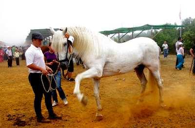White horse parading at San Antonio del Monte, Garafía