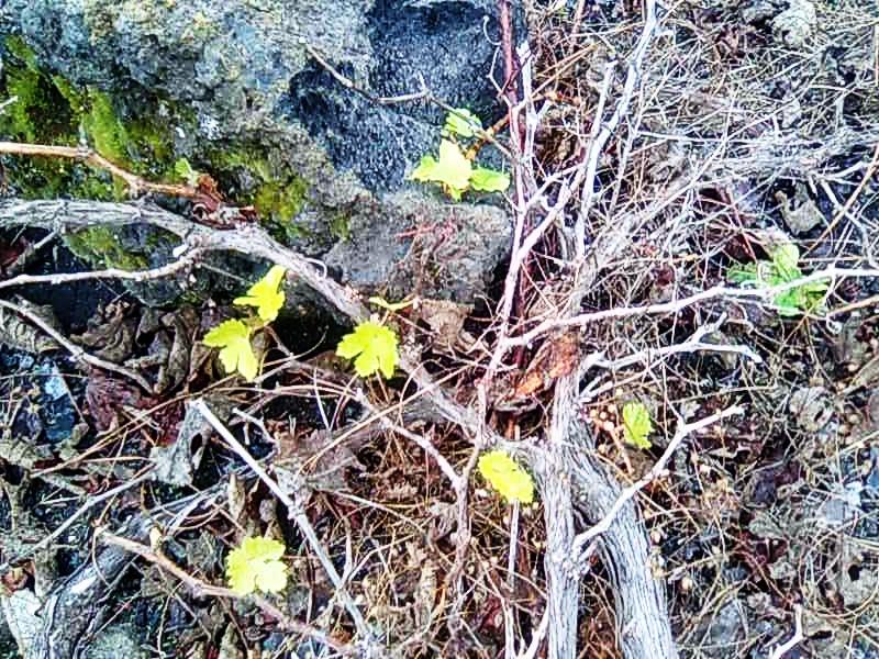 Regenerating forest, Fuencaliente, La Palma/